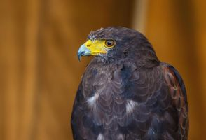 Harris hawk 01 by NellyGrace3103