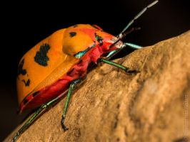 Hibiscus Harlequin Beetle by ShannonIWalters