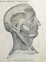 muscles of the face stock by fahrmboy-stock