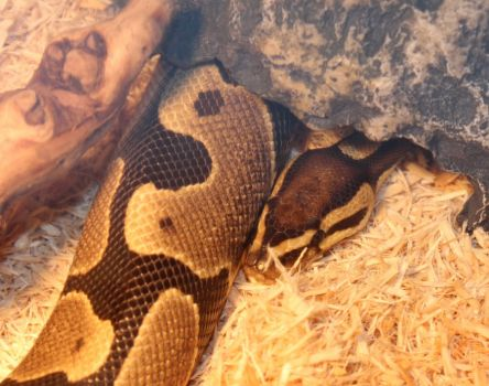 Unnamed Ball Python Peeking Out by Aayrick