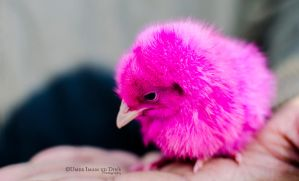 Day 184: A Chick. by umerr2000