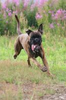 Boxer in action by SaNNaS