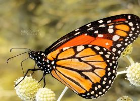 Monarch by John-Peter