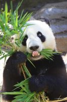 Giant Panda-22 by dkbarto