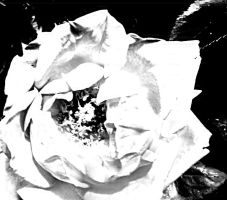 Black and White Rose by ParadiseManga13