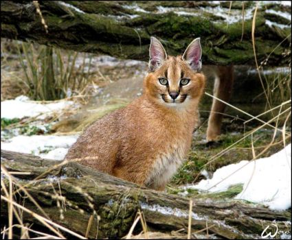 Smiling baby caracal by woxys