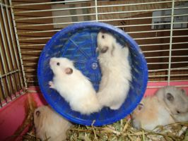 Hamsters on the Wheel by munchengirl