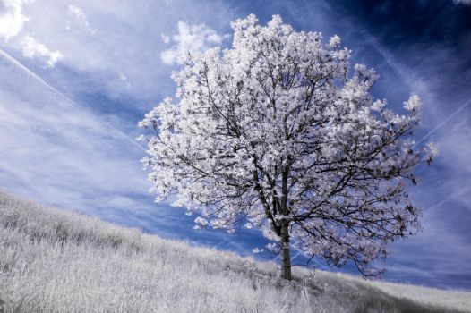 infrared tree by Tschisi