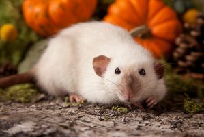 siamese rat II by szorny-stock