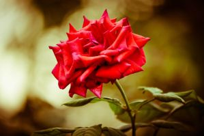 A Red Rose For Elle by ramzikaram