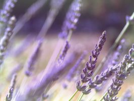 Lavender in the morning by Vampirbiene