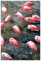 Resting Flamingos by bitspike