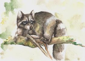 raccoon by FalkaNairero