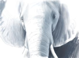 Elephant Study 2 by Dhavita