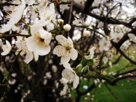 Blossom Tree by ivan0494