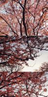 Cherry Blossoms by Maquenda