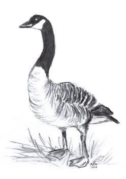 Canadian Goose by Arabidopsis