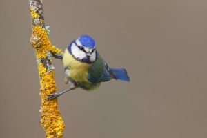 Blue Tit by capitaodomato111