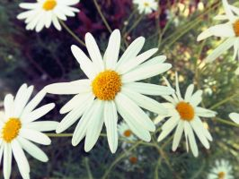 Chamomile flowers by Sara0TH