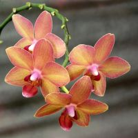 Orchid flowers 1 by Adagem