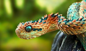 Bush Viper by Cirdani
