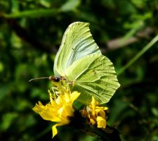 Female Brimstone and a Bug by MP-Tuomela