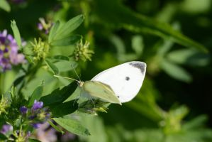 Butterfly 55 by Marina17