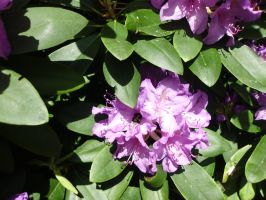 Bumblebee on Rhododendron augustinii by JollyStock