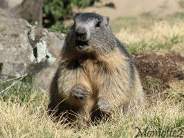 Laughing baby marmot by Momotte2