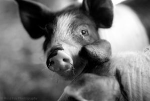 Piglet by RosaFayPhotography