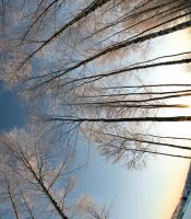 sunshine and birch trees by KariLiimatainen