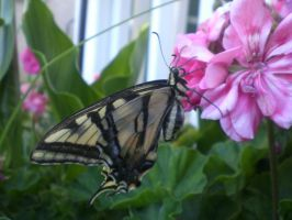 Eastern Tiger Swallowtails by SN2