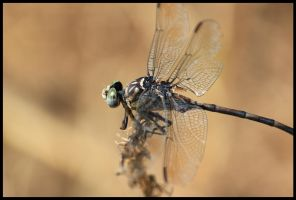 dragonfly by firxxx