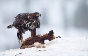 Golden Eagle with Ex-Fox by joeelway