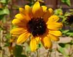 Sunflower 21 by ZiggyStardust201