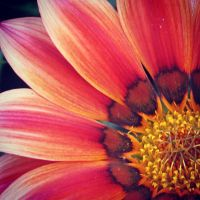 Gazania II by Aenea-Jones
