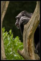 Chimpanzee by lomoboy