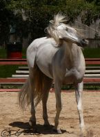 Andalusian Stallion - 53 by ElaineSeleneStock