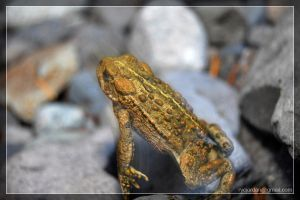 Western Toad by theperfectlestat