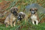 Puppies of the Atlas mountains by SaNNaS
