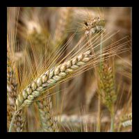 Barley by laimer