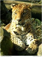 Laidback Leopard by In-the-picture
