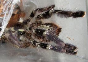 Poecilotheria regalis by Phoenix-Cry