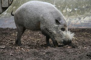 London Zoo 04 Bearded Pig by FoeToss