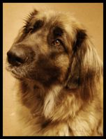 Lady Leonberger by nocturnalMoTH