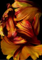 Tulip Swirl 2 by andras120