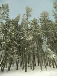Snowtrees by T-Thomas