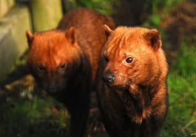 Bush Dog Pair by Shadow-and-Flame-86