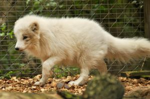 Lueneburger Heide Arctic Foxes 05 by windfuchs