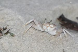 Crab by myp55
